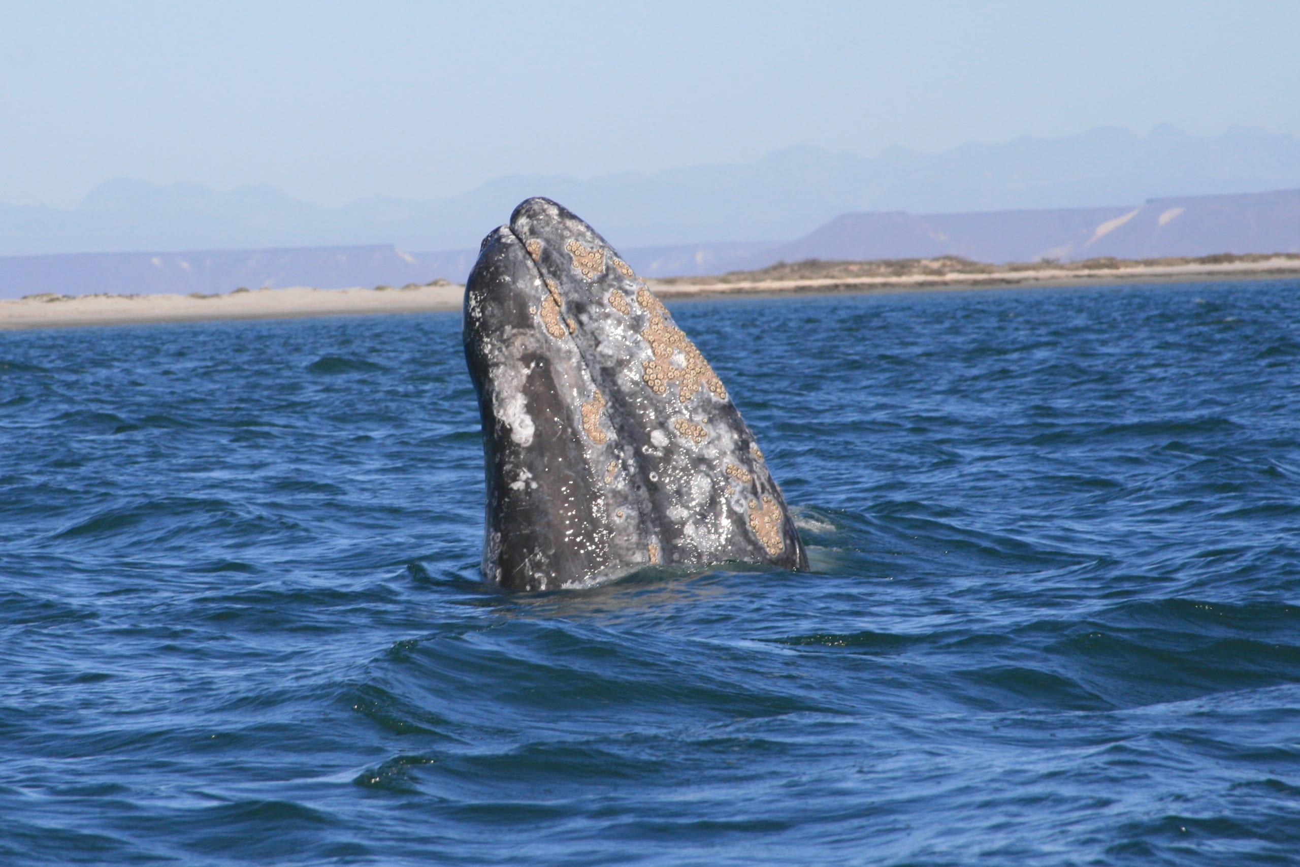 gray whale ryan harvey used under creative commons