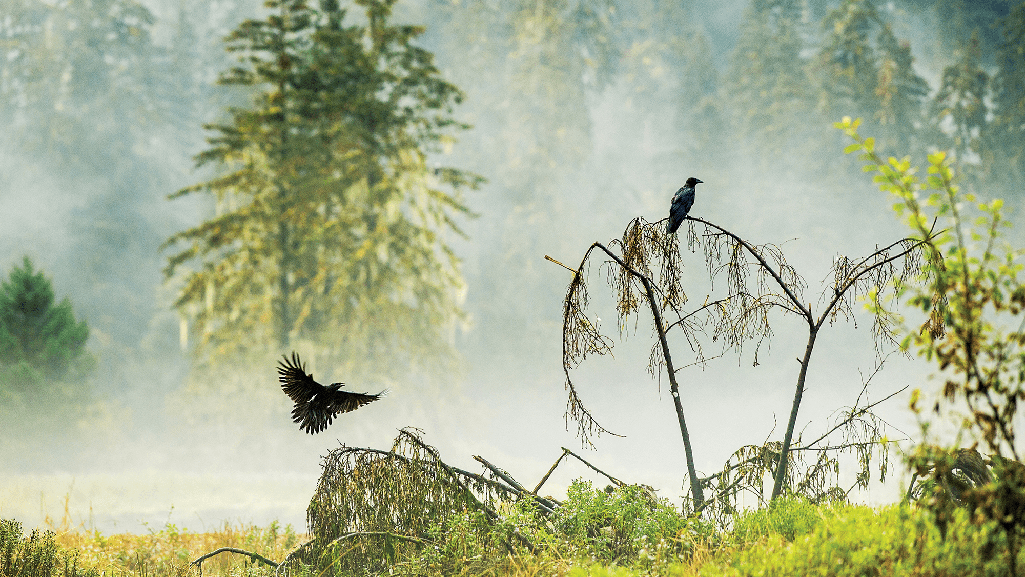 Two Corvids April Bencze ctc2018
