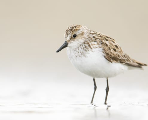 Semipalmated Sandpiper by Jess Findlay